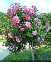 Нажмите на изображение для увеличения Название: розовое дерево.JPG Просмотров: 104 Размер:482.9 Кб ID:3918