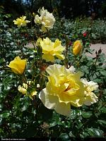 Нажмите на изображение для увеличения Название: Rose.JPG Просмотров: 104 Размер:474.6 Кб ID:3933