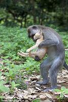 Нажмите на изображение для увеличения Название: ss-100826-monkey-kitten-03_ss_full.jpg Просмотров: 102 Размер:318.9 Кб ID:9492