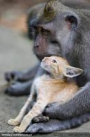 Нажмите на изображение для увеличения Название: ss-100826-monkey-kitten-06_ss_full.jpg Просмотров: 96 Размер:194.8 Кб ID:9493